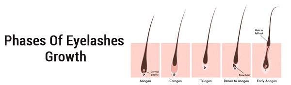 phases of eyeslashes growth